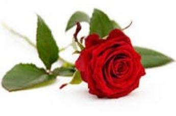 Rode roos verpakt € 4,95*